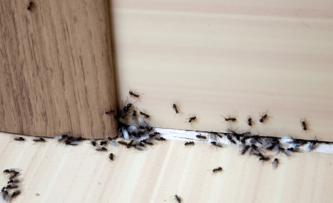 Ants from wood