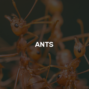 Ants prevention